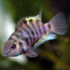 CONVICTS CHICHLIDS FOR SALE